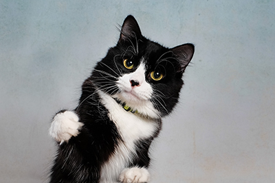 Kiwi the Tuxedo Cat Welcomes You