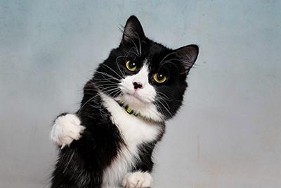 Kiwi the Tuxedo Cat Welcomes You