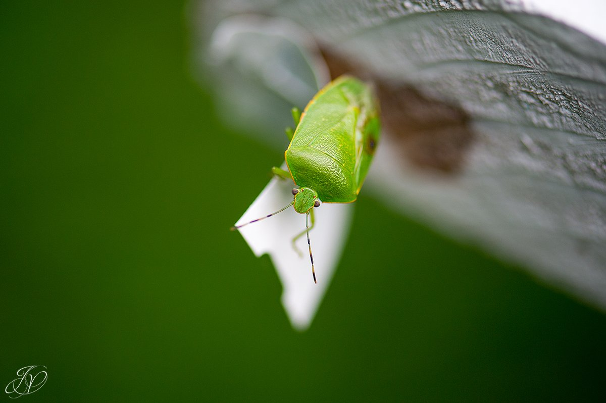 jessica painter photography, cool stink bug